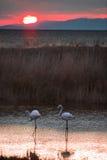 Flamingos at sunset Stock Image