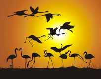 Flamingos and sunset Stock Images