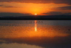 Flamingos sunset in salt lake. 