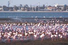 Flamingos at swakopmund haven Royalty Free Stock Photo