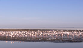 Flamingos - Swakopmund, Namibia Royalty Free Stock Image