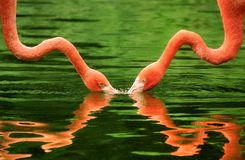 Flamingos symmetrically reflected on water Royalty Free Stock Photo