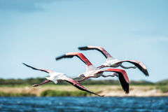 Flamingos take flight Royalty Free Stock Images