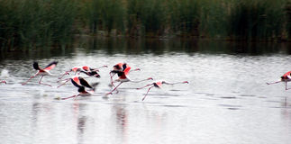 Flamingos Take Off Stock Photo