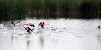Flamingos Take Off. Flock of flamingos taking off for migration Stock Photo