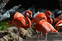 Flamingos. Taken in South Florida Stock Photo