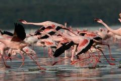 Flamingos taking flight. Lesser Flamingos at Lake Nakuru National Park, Kenya Stock Image