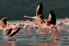 Flamingos taking flight Royalty Free Stock Image