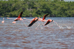 Flamingos taking off Stock Photography