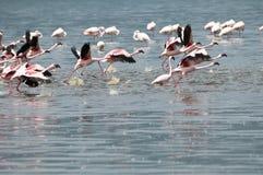 Flamingos taking off. Royalty Free Stock Image