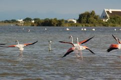 Flamingos taking off Royalty Free Stock Photo