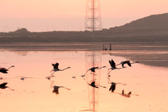 Flamingos taking off in flight Royalty Free Stock Photo
