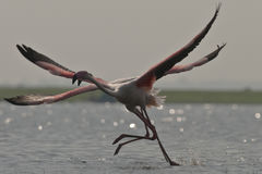 Flamingos Taking off Stock Images