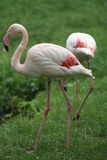 Flamingos. There are 6 different species of flamingo! All in shades of pale or bright pink, where the American species are most colorful. All adult flamingos are Stock Photography