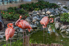 Flamingos. Three Pink flamingos in a resort Royalty Free Stock Photography