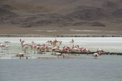 Flamingos Time Royalty Free Stock Images