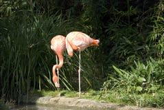 flamingos två Arkivfoton