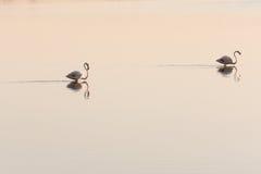 flamingos två Arkivfoto