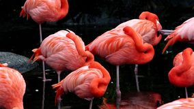 Flamingos, two different video shots in one file. Group of pink flamingos at the zoo. Argentina stock video footage