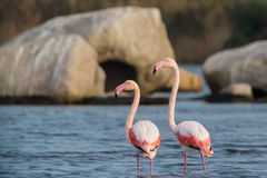 Flamingos. Two  flamingos in Olbia`s gulf Royalty Free Stock Photos