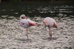 Flamingos. Two flamingos in Olbia`s gulf Stock Photography