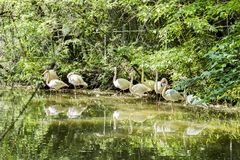 Flamingos are a type of wading bird in the family Phoenicopteridae. The only bird family in the order Phoenicopteriformes. Four flamingo species are in the royalty free stock images
