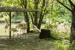 Flamingos are a type of wading bird in the family Phoenicopteridae. The only bird family in the order Phoenicopteriformes. Four flamingo species are in the stock images