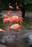 Flamingos at Ueno zoo Tokyo Royalty Free Stock Images