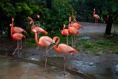 Flamingos at Ueno zoo Tokyo Royalty Free Stock Photography