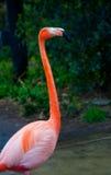 Flamingos at Ueno zoo Tokyo Stock Photos
