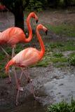 Flamingos at Ueno zoo Tokyo Stock Image