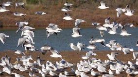 Flamingos und Seemöwen nahe dem Wasser Vögel stehen still stock video footage