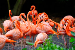 Flamingos wading in a pond Royalty Free Stock Images
