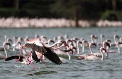 Flamingos on walk Stock Photos
