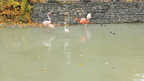 Flamingos Walk On Water stock footage