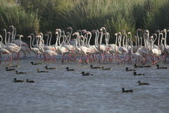 Flamingos walking Royalty Free Stock Photos