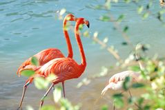 Flamingos walking two-by-two Royalty Free Stock Photography