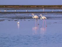 Flamingos walking in the water Royalty Free Stock Images