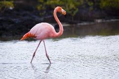 Flamingos walking in water Stock Photo