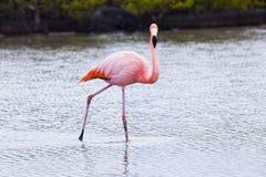 Flamingos walking in water Royalty Free Stock Photos