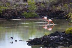 Flamingos walking in water Royalty Free Stock Image