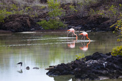 Flamingos walking in water stock images