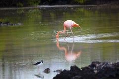 Flamingos walking in water Stock Photography