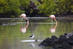 Flamingos walking in water Stock Images