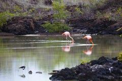 Flamingos walking in water Stock Image