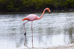 Flamingos walking in water Royalty Free Stock Photo