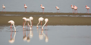 Flamingos in Walvis Bay stock image