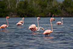 Flamingos in the water Royalty Free Stock Photo