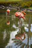 Flamingos in the water Royalty Free Stock Image