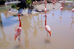 Flamingos. In the water enjoying the sunshine Royalty Free Stock Images